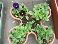 Pansy plant in waved shape pot