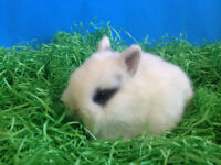 Baby Purebred Netherland Dwarfs Bunnies- Ready to Leave!