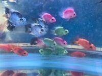Parrot Cichlids, beautiful colours! live tropical fish
