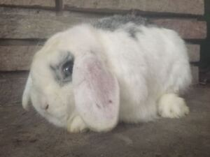 Young Purebred Holland Lops and  Lionlop bunnies
