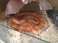 Female cornsnake approx 4 1/2