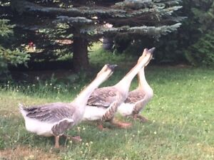 African Geese Pair-great livestock guards