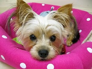 YORKIE 2 Y. OLD  BOY LOOKING FOR A GIRLFRIEND