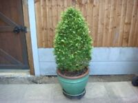 Large Light Green Pot with Tall Box plant
