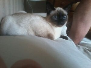 LOST MALE 10 MONTH OLD SIAMESE REWARD OFFERED