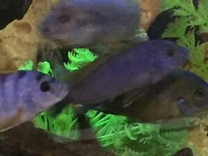 Hongi cichlids for sale Kingsgrove Canterbury Area Preview
