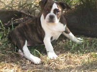 VERY Small !! Bulldog Puppies!!