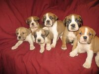 Old Englsih Bulldog Puppies For Sale with Parents on site!!