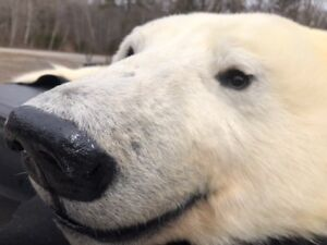 7ft Polar Bear Rug - Excellent Condition with Permits