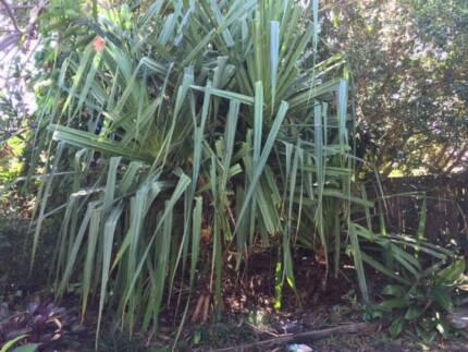 Pandanus trees for sale Sunshine Coast