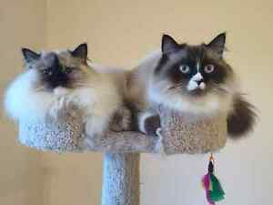 Himalayan Ragdoll cats for sale