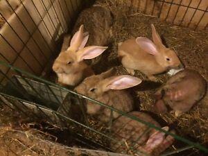 Flemish Giant Rabbits Windsor Region Ontario image 2