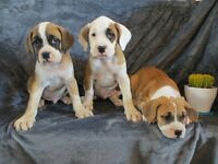 Boxer/Bulldog Puppies-Males in first picture and rest females!!!