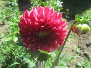 Flower gardeners lovers deal > tubers bulbs Canas Dahlias