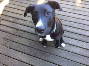 Pippa The Wonder Dog - Free to a good home! Castlecrag Willoughby Area Preview