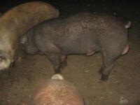 Tam and Red Duroc mix weaner pigs are available