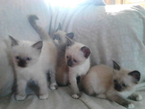 Purebred Seal Point  Snowshoe Kittens for sale