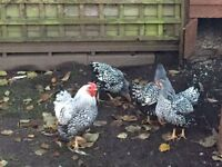 Silver laced Wyandotte Bantam hens for sale