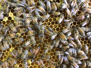 Honey Bees - Nucs and Queens for Sale