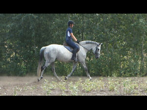 Lovely 16' Warmblood Mare, Suit Any