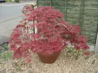 Acer Tree in Pot
