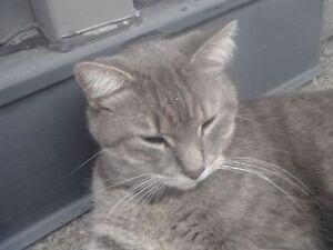 LOST GREY MALE CAT NEAR DUNDAS S / CHAMPLAIN BLVD