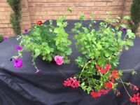 2 Hanging Baskets with Geraniums , Petunias and Marigolds. Collect Fulham