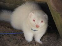 1 year old Albino Ferret