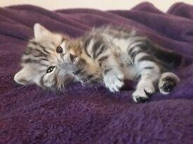 Sel britich silver tabby cat