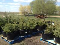 Colorado Blue Spruce, Poplar, Green Ash and Flowering Crab Trees