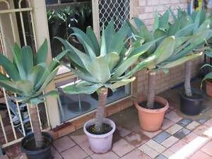 Beautiful agave plants Mirrabooka Stirling Area Preview