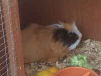 2 male fluffy Guinea pigs with hutch