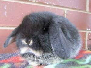 mini lop black otter does Coolaroo Hume Area Preview