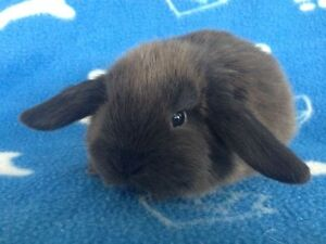 RARE Baby Purebred Siamese Holland Lop Bunnies
