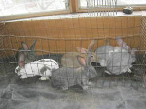 Meat Rabbits, male Giant Flemish X NZ born Oct. 09 ready now
