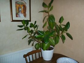Large Rubber Plant