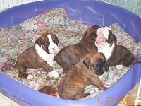 Georgous Boxer Puppies And English Mastiffs