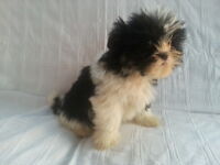Beautiful Shih Tzu Puppy from Pedigree Parent mother Cavachon and King Charles. shih-tzu puppies