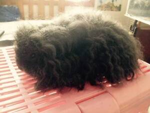 Male Texel Guinea Pig Broadmeadow Newcastle Area Preview