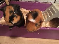 Two lovely Guinea Pigs for sale includes indoor & outdoor cage