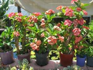 Potted beautiful crown of thorn plants