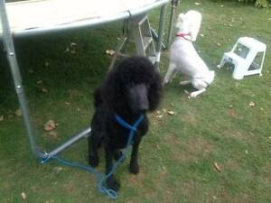 Pedigreed Standard Poodle Caboolture Caboolture Area Preview