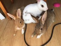 Male Bunnies for sale