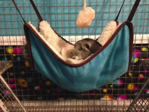 Gray chinchilla looking for a loving new home