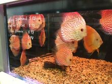 Discus  from $38.00 Cremorne North Sydney Area Preview