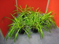68 % OFF! healthy trailing indoor Spider Plants (Chlorophytum)