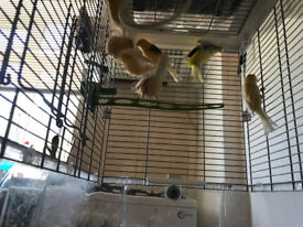 Six healthy canaries for sale £30.00 each 0r £25.00 each for 2