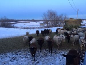 Alberta pasture raised lamb is ready. Cheaper and Closer!