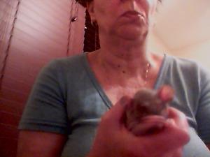 Rat et rate à vendre 5 $ chaque