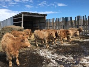 Replacement heifers for sale